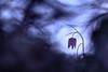 Le temps des fritillaires. (SweeP_64) Tags: le temps des fritillaires fritillaire pintade fritillaria meleagris photo nature proxy cyrille masseys 6ril bokeh fleur flower purple