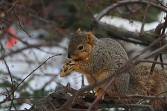 Squirrels On a Foggy Winter's Day in Ann Arbor at the University of Michigan (February 15th, 2018) (cseeman) Tags: gobluesquirrels squirrels annarbor michigan animal campus universityofmichigan umsquirrels02152018 winter eating peanut februaryumsquirrel snow snowy foggy misty overcast wet damp soggy