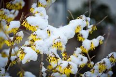 Zaubernuss, gelb blühender Winterstrauch (Peter Goll thx for +6.000.000 views) Tags: 2018 dechsendorf erlangen germany natur nature strauch blüte blossom winter schnee snow