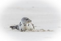 Harbor Seal (rich0234) Tags: nature harborseal islandbeachstatepark