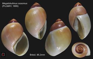 megalobulimus oosomus bresil 83mm6