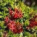 Ixora javanica (Red Ixora)