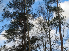 Trees And Morning SKy. (dccradio) Tags: lumberton nc northcarolina robesoncounty outside outdoors nature natural beauty scenic tree trees cloud clouds whiteclouds sky bluesky morning goodmorning sticks branches treelimbs treelimb treebranch treebranches canon powershot elph 520hs