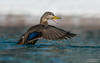 American black duck (salmoteb@rogers.com) Tags: bird wild outdoor duck wildlife nature american black water toronto canada ontario