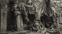 Fusion (carolina_sky) Tags: krongsiemreap siemreapprovince cambodia kh angkorwat preahkhan temple ruins buddhist banyantree wonder blackandwhite pentaxk1 pentax1530mm pixelshift skymatthewsphotography roots