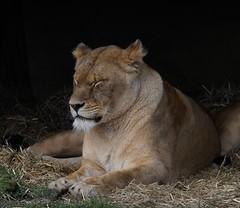 Yorkshire Wildlife Park 20.02.2018 311 (Andrew Burling (SnapAndy1512)) Tags: yorkshirewildlifepark20022018 yorkshirewildlifepark lion lions bigcats animals zoo