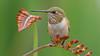 Rufous Hummingbird (photosauraus rex) Tags: bird hummingbird rufoushummingbird selasphorusrufus vancouver bc canada nofeedershot nonbaitedshot nonzooshot