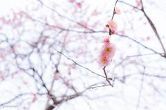 Japan.2018.013 (ginomempin) Tags: plumblossoms ume flowers tree spring japan fujixt2 fujifilmxt2 fujifilmxseries