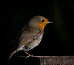 The Song Bird (Erithacus rubecula) (neil 36) Tags: aggressively territorial they will sing night next street lights cute appearance urban suburban woodland dark back ground