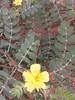 நெருஞ்சில் 3(Tribulus terrestris ) (Dr.S.Soundarapandian) Tags: tamilnadu medicinal herbal india thorn libido fertility yellow flower weed