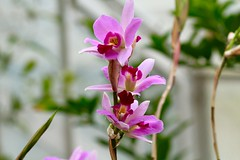 Three in a row (ole_G) Tags: orchid lymanestate waltham