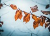 Orange in winter (happy.culteur) Tags: close leaf tree ice snow winter orange blue morning olympus omdem10markii zuikodigital focus forest landscape nature