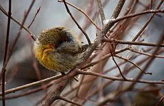 Yellow House Finch Trying to Keep Warm During Snowfall (Ginger H Robinson) Tags: finch fluffed feathers insulation resting snowfall snowflake arcticcold frigid serviceberry tree branch rockymountain frontrange colorado morning house male yellow