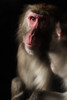 Japanese Macaque (BrianEden) Tags: wildlifephotography portrait northfork longislandaquarium wildlife aquarium macaque longisland newyork dramatic japanesemacaque riverhead snowmonkey light unitedstates us