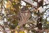 La vedette endormie / The Sleeping Star (Pierre Lemieux) Tags: villedequébec québec canada ca nyctaledetengmalm borealowl owl nyctale domainemaizerets aegoliusfunereus cèdre