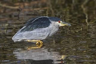 Black-crowned Night-Heron / Bihoreau à couronne noire