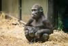 2018-01-19-13h30m20.BL7R8740 (A.J. Haverkamp) Tags: canonef100400mmf4556lisiiusmlens shae amsterdam noordholland netherlands zoo dierentuin httpwwwartisnl artis thenetherlands gorilla pobamsterdamthenetherlands dob21012016 nl