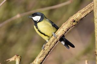 Great Tit at Warnham Nature Reserve