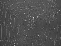 (Kelvin P. Coleman) Tags: canon powershot nottingham morning dew water drop droplet moisture condensation cobweb spiderweb lines organicpattern texture closeup depthoffield bw noiretblanc schwarzweiss blancoynegro outdoor