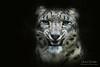 Snow leopard (Michel L'HUILLIER (Asterix_93)) Tags: snow leopard portrait black background face watch greatphotographers greaterphotographers