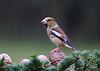 Grosbec casse noyaux (Michel Idre - 7 millions de vues merci) Tags: oiseau bird aves tarn grosbeccassenoyaux grouptripod