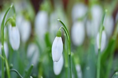 Here come the Snowdrops! (Nina_Ali) Tags: macro winter england 7dwf green white depthoffield bokeh flower snowdrops