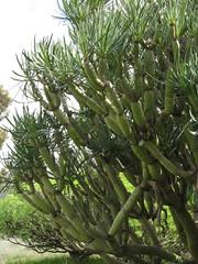 Kleinia neriifolia - Asteraceae (Kerry D Woods) Tags: tenerife tenomascasantiago kleinia neriifolia asteraceae