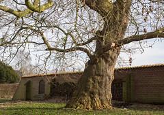 Plataan Ewsum (Jeroen Hillenga) Tags: plataan boom tree groningen middelstum ewsum borgterrein borg