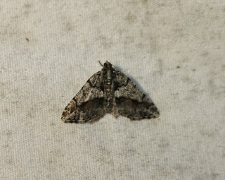 6312 Speranza deceptrix, Moth