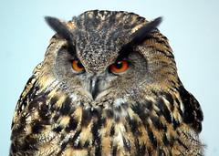 Eule (Rolf Piepenbring) Tags: eule owl uil hibou сова 貓頭鷹 uhu bubobubo
