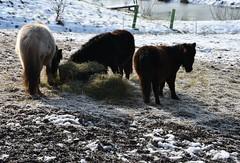 Delicious! (:Linda:) Tags: germany thuringia village bürden snow pony three hay