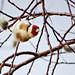 European goldfinch // Carduelis carduelis