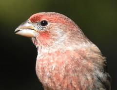 House Finch, Male #4 (beautyinature4me) Tags: bird avian housefinch male deeppink sedona arizona december2016