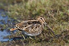Snipe (Steve Balcombe) Tags: bird common snipe gallinago gallinagogallinago rspb greylake somerset levels uk