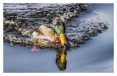 a tota màquina (Josep M.Toset) Tags: ànec animalia aus aigua catalunya chordata anseriformes anatidae d500 josepmtoset nikon ocells anàtids bec fauna ocell·aquàtic verd groc sigma150600mmf563sports