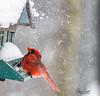 Ah sh.. an avalenge ! (Anniemotion Photographe) Tags: birds oiseaux cardinal
