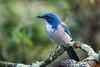 California Scrub-Jay (Bob Gunderson) Tags: aphelocomacalifornica birds botanicalgardens california californiascrubjay corvids goldengatepark jays northerncalifornia sanfrancisco