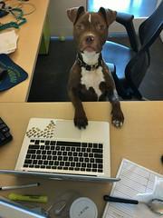 Cinnamon (CRomannBayer) Tags: work dog