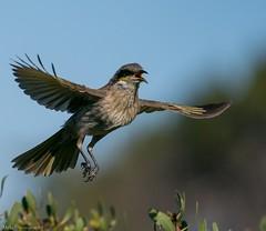 Singing Honey Eater (Mykel46) Tags: 100400mm a9 sony nature birds bif