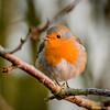 le chant du Rouge gorge (musette thierry) Tags: rougegorge oiseau musette thierry d600 oiseaux bird nikon couleur reflex