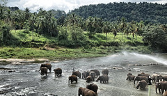 Pinnawala Elephant Orphanage (Gerard Koopman) Tags: srilanka elephant