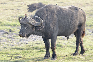Cape Buffalo (Side View) at Chobe National Park, Botswana