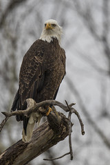 Eagle (player_pleasure) Tags: eagle bird birdsofprey perched baldeagle canon 400mm nature naturesfinest