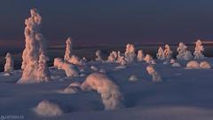 Lighted topps - Lapland (Captures.ch) Tags: aufnahme baum himmel hügel landschaft nationalpark wald winter capture hills landscape sky snow tree valley finland äkäslompolo lapland yllas abend abenddämmerung sonneuntergang dusk evening sunset kuer