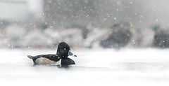 Snowy Ring Necked Duck (rmikulec) Tags: waterfowl ringed neck duck bird wild wildlife nature ornithology birding lake ontario humber bay pond water snow winter cold wet