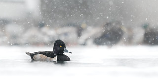 Snowy Ring Necked Duck