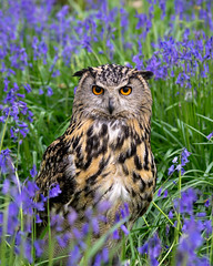 Ethel (hehaden) Tags: owl eagleowl bubobubo bluebells bwc britishwildlifecentre lingfield surrey sel70200g
