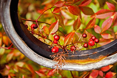 Heavenly Bamboo (Fiddling Bob) Tags: nandina heavenlybamboo berries red gardens sarahpdukegardens durhamnc