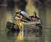 SHARING A SPOT (Wolf Creek Carl) Tags: wildlife turtles water river wakullariver nature florida outdors green reflection bokeh
