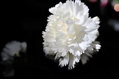 Blanco Clavel (ameliapardo) Tags: claveles blanco flores macro macrodeflores floresyplantas naturaleza jardines airelibre sevilla andalucia españa fujixt1